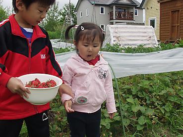 無農薬いちごの収穫