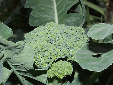 有機無農薬栽培のブロッコリー