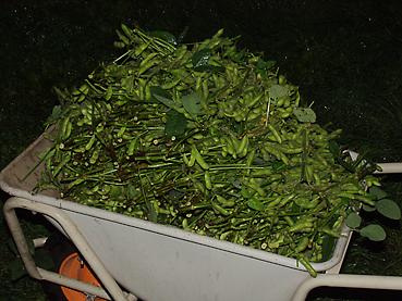 有機無農薬栽培の枝豆、これだけ採れました!