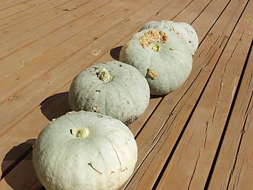 今年収穫した有機無農薬栽培のかぼちゃ