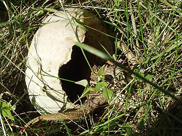 有機無農薬栽培のかぼちゃがエゾリスにより壊滅的被害