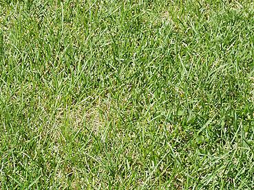 伸びきった芝生のアップ