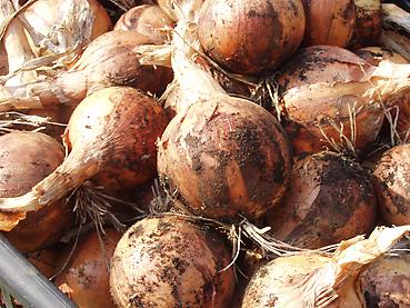 有機無農薬栽培のタマネギ