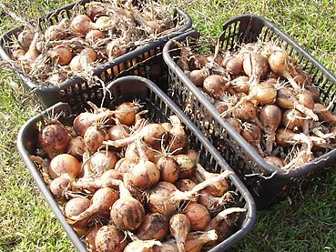 有機無農薬栽培のタマネギ500個