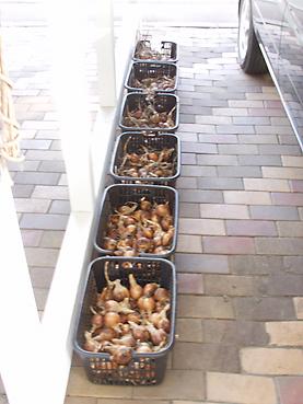 有機無農薬栽培のタマネギを乾燥