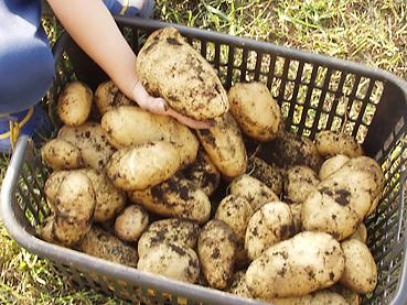 有機無農薬栽培のイモ 大きいよ!