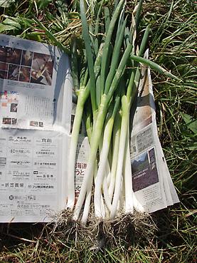 完全無農薬有機栽培の長ねぎ
