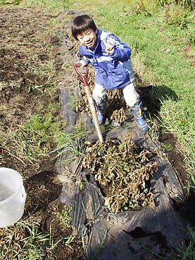 有機無農薬栽培の落花生を収穫