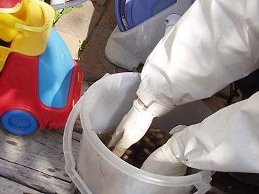 有機無農薬栽培の落花生を水洗い