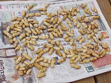 有機無農薬栽培の落花生を乾かす