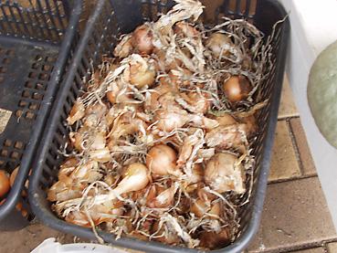 有機無農薬栽培のタマネギを保存