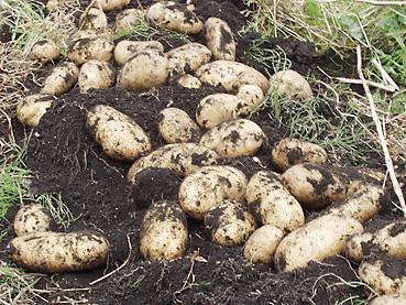 有機無農薬栽培のカラフルなジャガイモを収穫