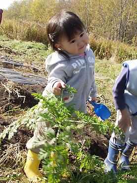有機無農薬栽培のニンジンを収穫