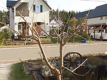 剪定後のプラムの木