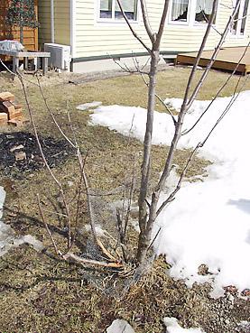 ねずみによる果樹の被害