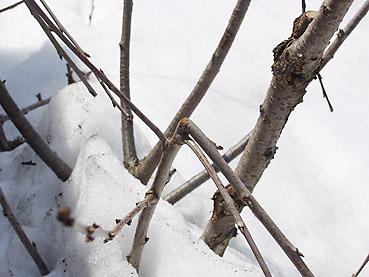 雪による果樹の被害