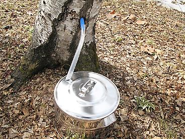 シラカバ樹液の採取