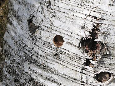 シラカバの穴