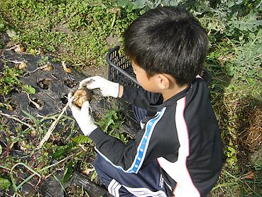 たまねぎを収穫